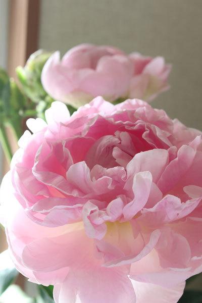 蕾の切り花を買ったのですが、あっという間に咲きました
