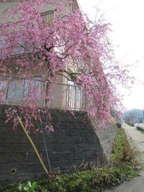 学びの館桜も咲きました。