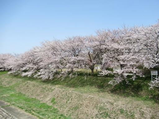 さくら祭りの桜