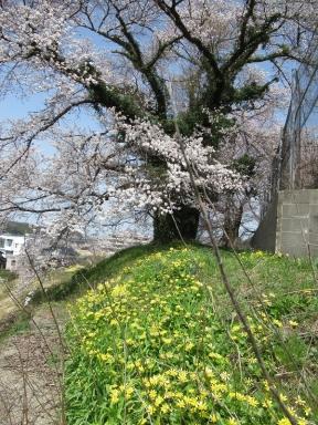 昭和天皇即位の桜