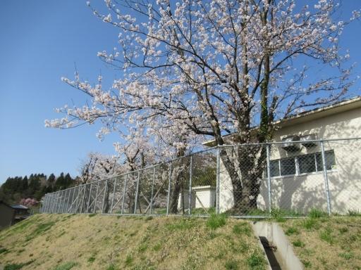 若松配水場の桜