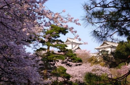 シンボルの桜