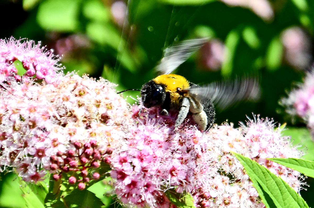 ミツバチと花 200524