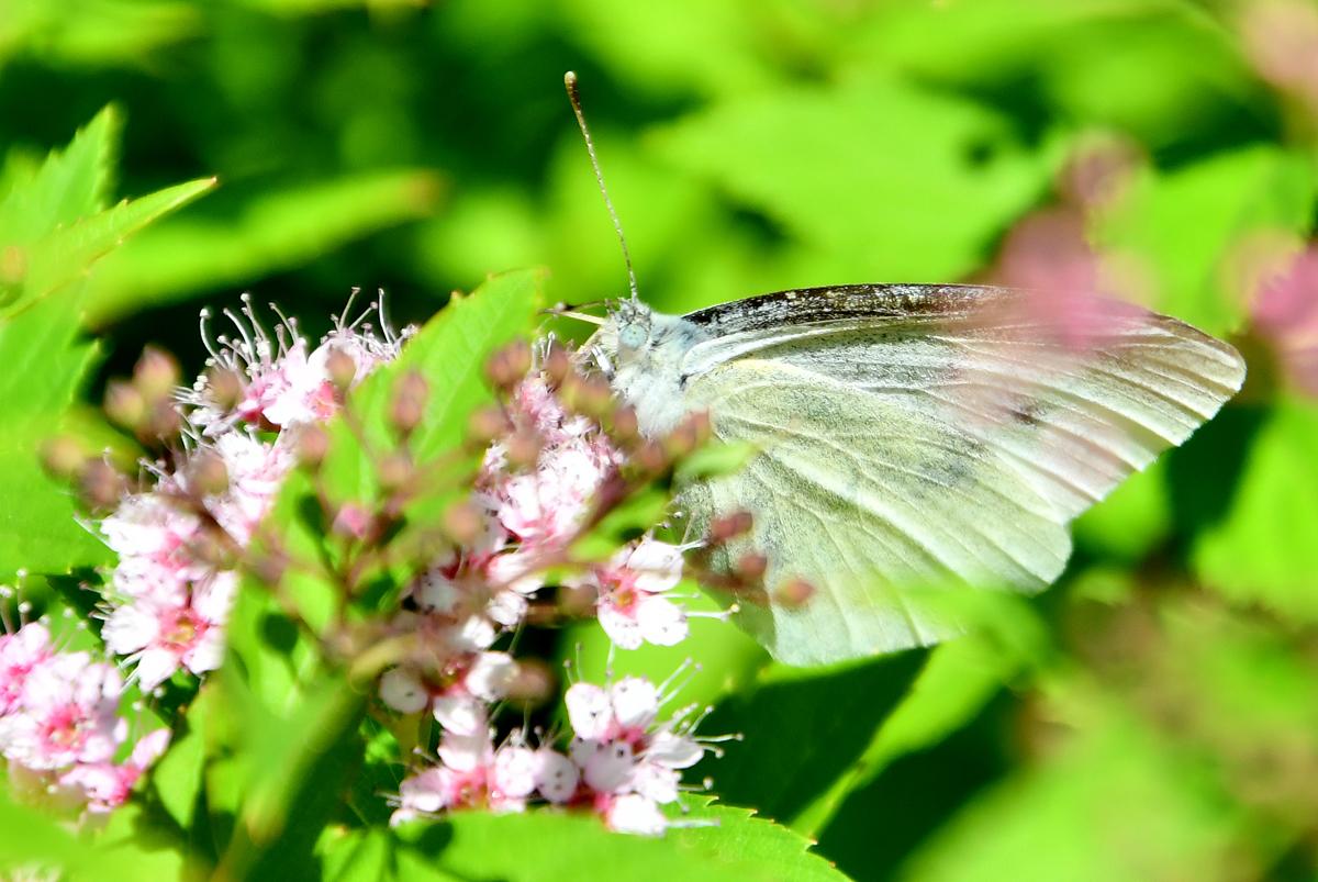 花と蝶 200522-7