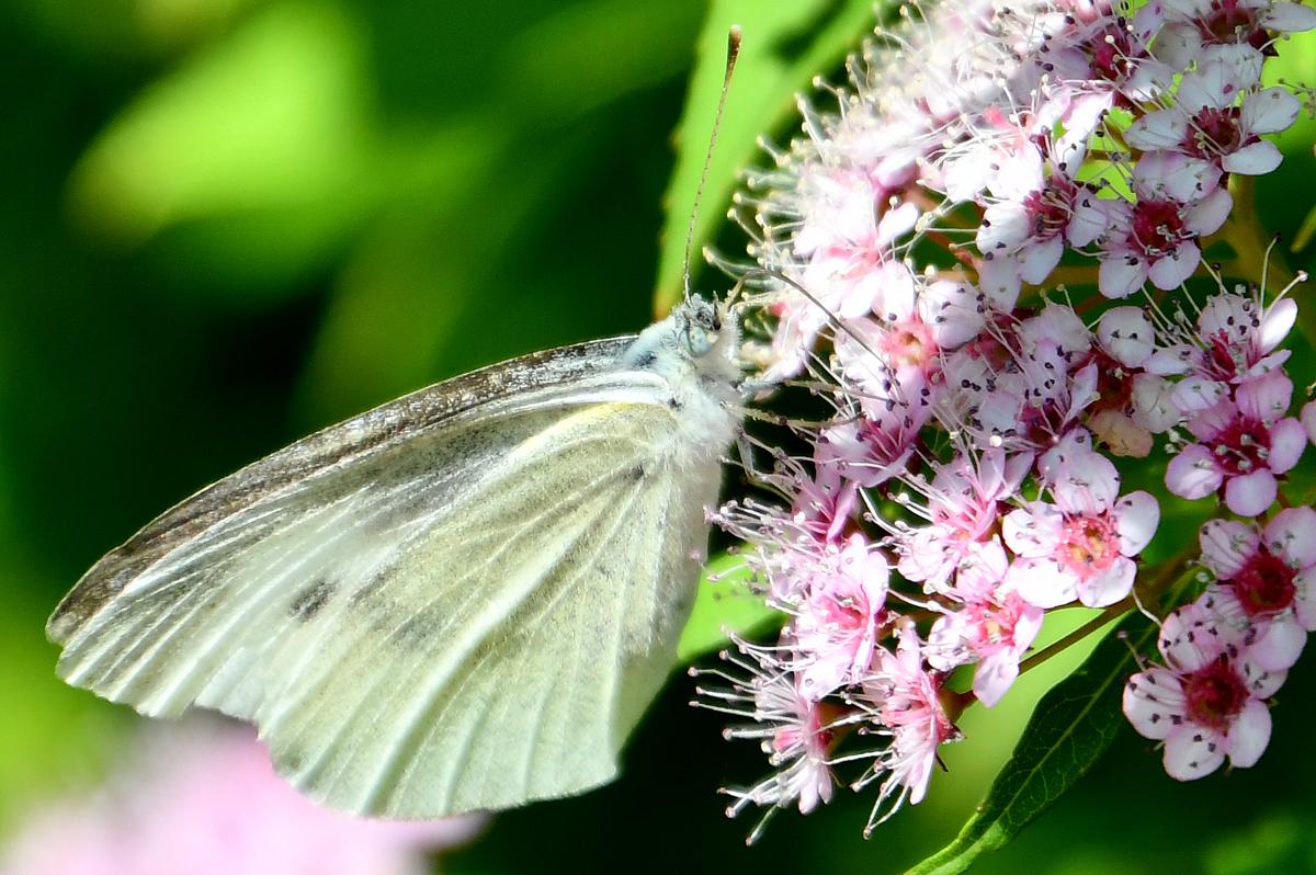 花と蝶 200522-8