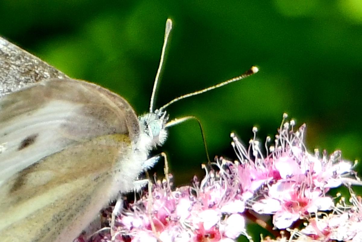 花と蝶 200522-3