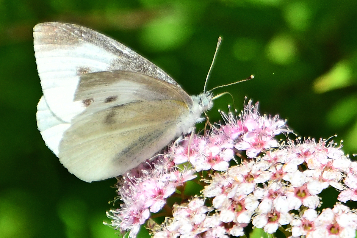 花と蝶 200522-4