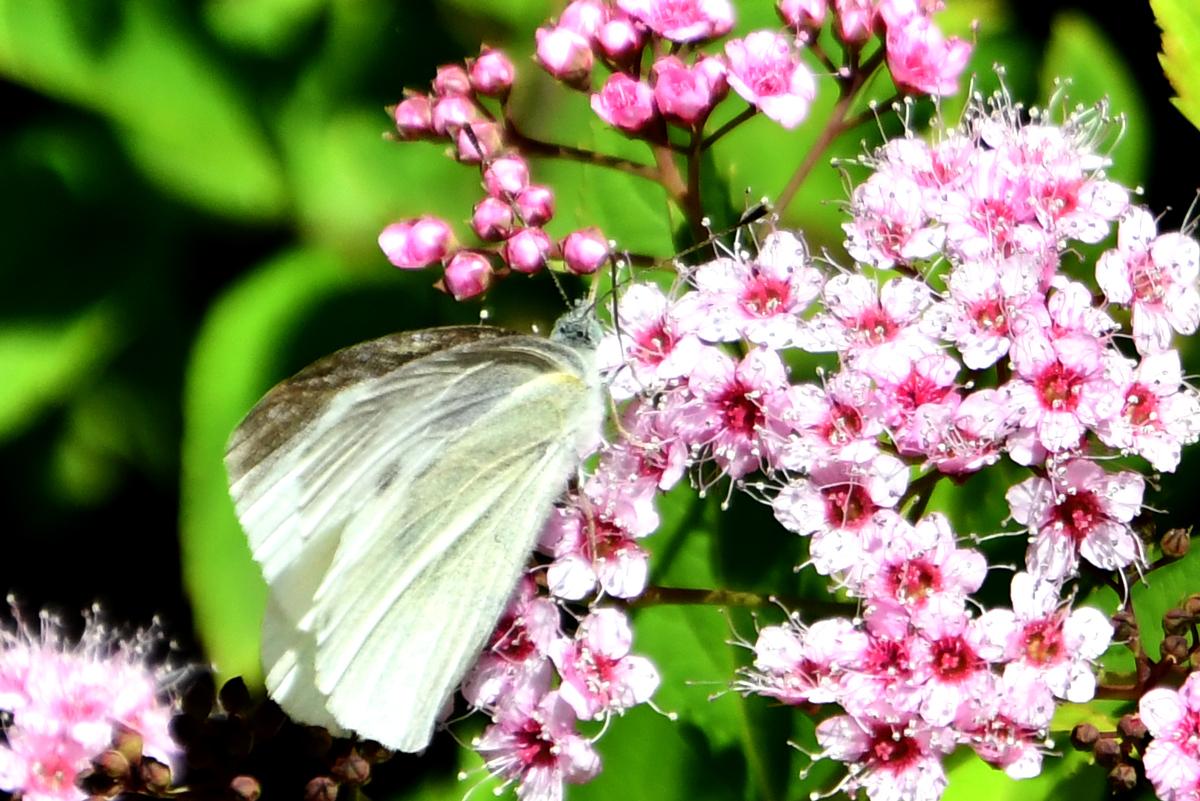 花と蝶 200522-5
