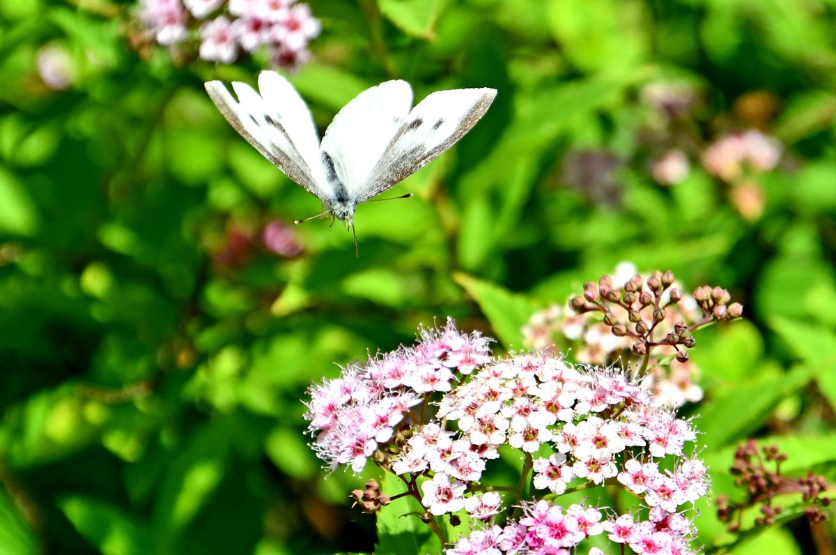 花と蝶200522-4