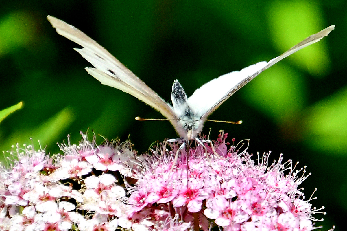 花と蝶200522-5