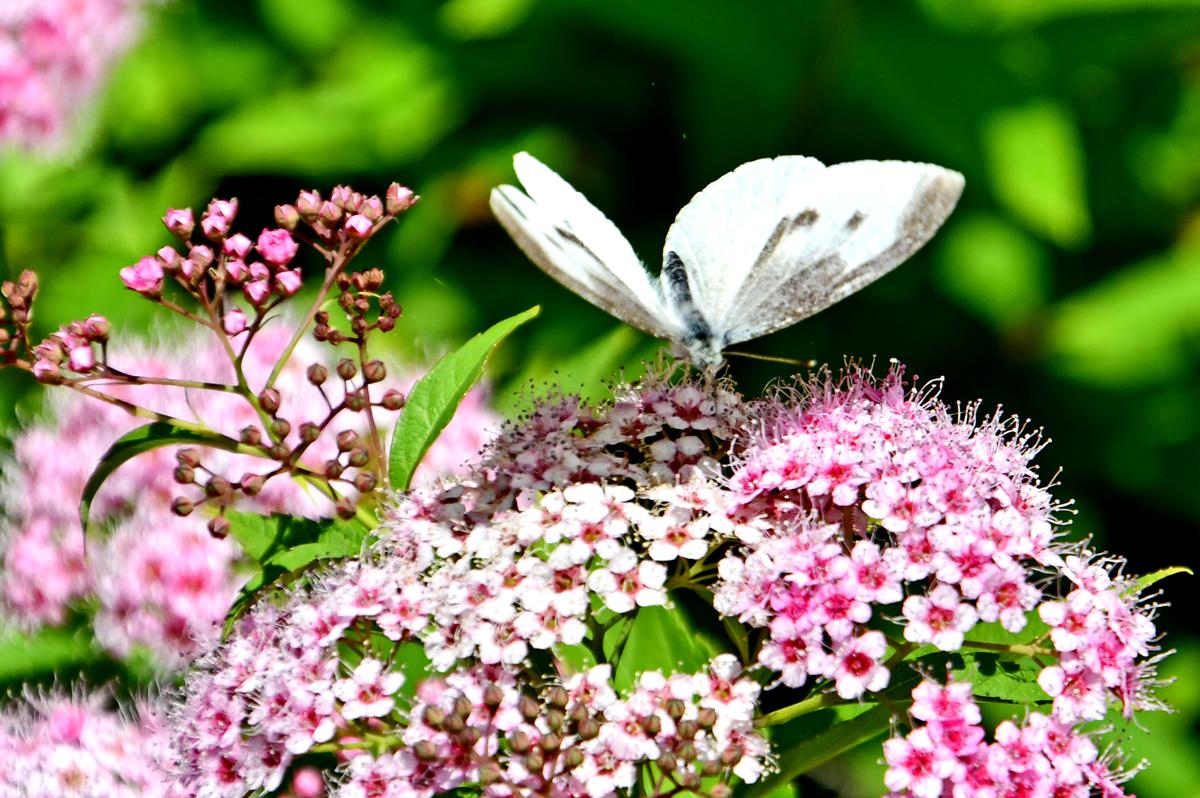 花と蝶200522-6