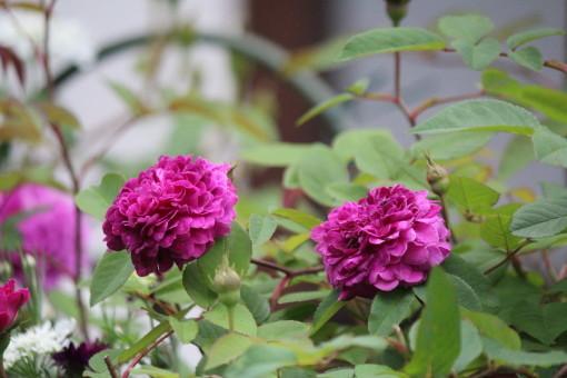 紫玉0001_1