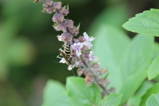 アシナガバチ0001