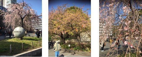3本早咲き桜