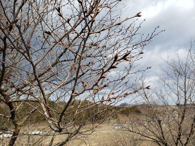 s1桜のつぼみ