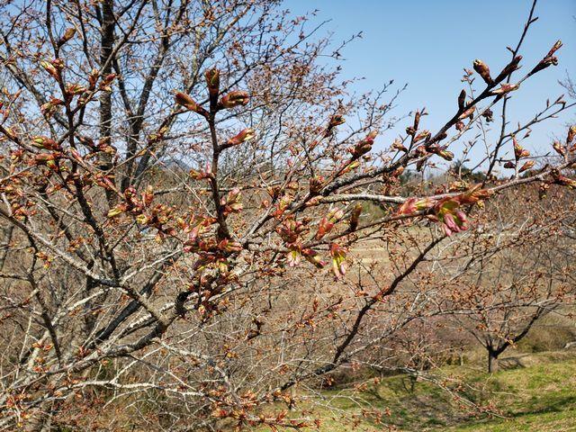 s1日吉台の桜
