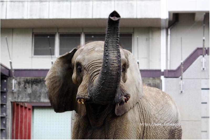 アフリカゾウさんとご挨拶♪