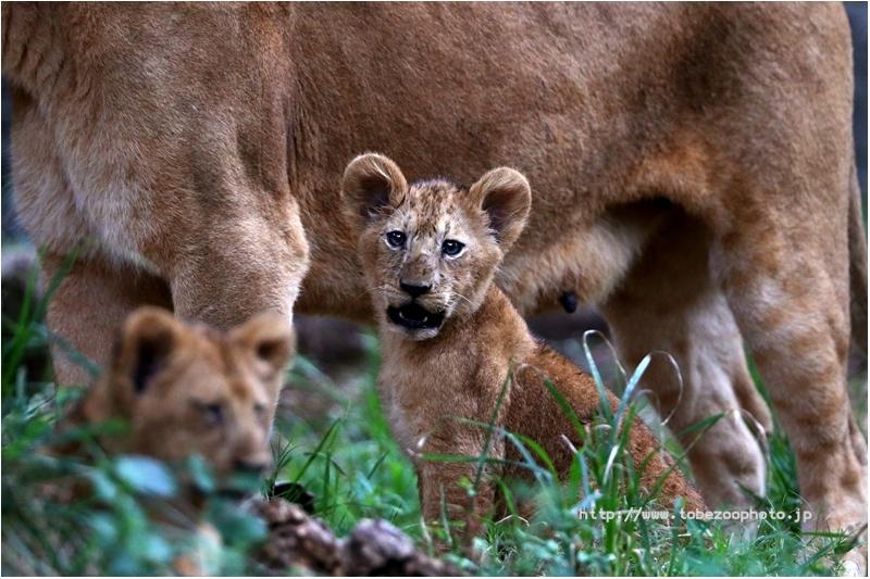2020年6月1日、3日に生まれましたライオンの赤ちゃんの名前は「ララ」ちゃんと「イオ」ちゃんに決まりました。