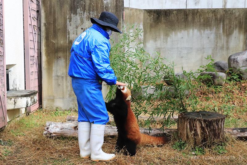 レッサーパンダのおやつ (撮影日:2021年1月 愛媛県立とべ動物園 レッサーパンダ舎にて)