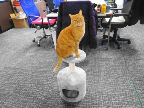 令和3年1月17日「事務所に遊びに来る、愛猫如来くん。」