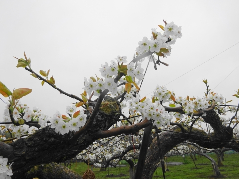 「梨の花が咲きました!」①