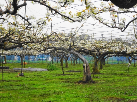 「梨の花が咲きました!」②