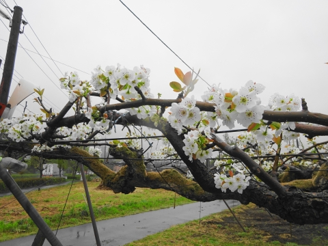 「梨の花が咲きました!」③