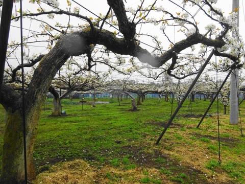「梨の花が咲きました!」④