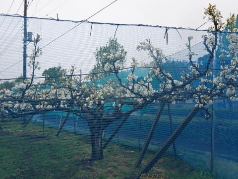 「梨の花が咲きました!」④1