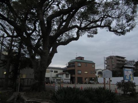 平塚小学校跡の樟樹
