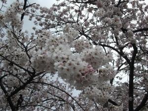 200424桜アップ