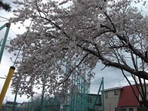200424甲田中学校の桜