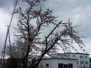 200424金沢小学校の桜