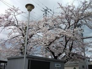 200424桜見上げる