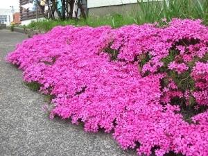 200504芝桜