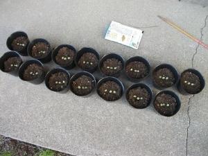 200617毛豆種まき