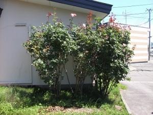 200730バラの木
