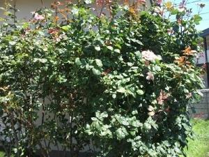 200730バラ茂る