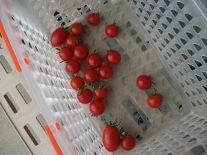 200925ほぼ最後の収穫
