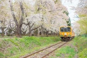 210310金木桜