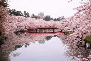 210310弘前桜