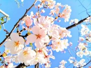210312桜の枝配布