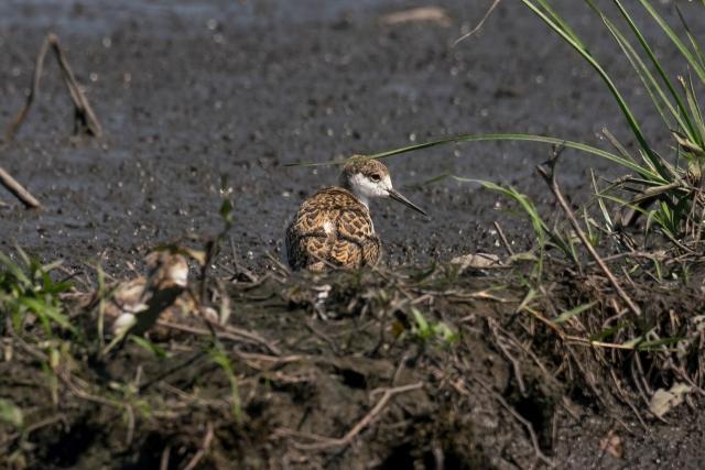 セイタカシギ(幼鳥)