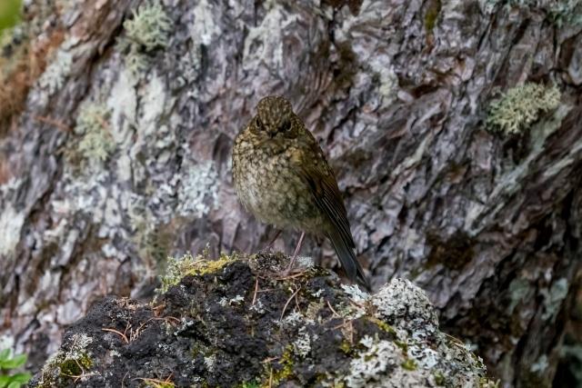 ルリビタキ幼鳥