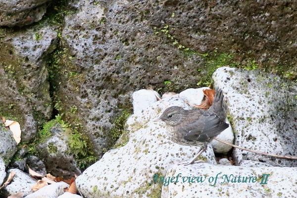 カワガラス幼鳥2004290462①