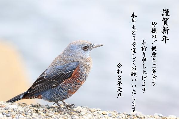 イソヒヨドリ♂2012291824①