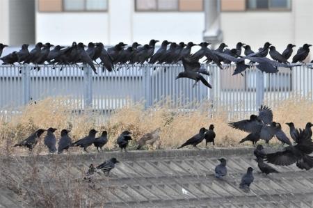 crow-crowd