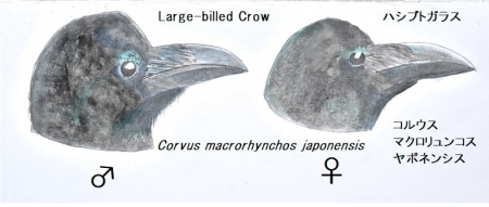l-crow-mf