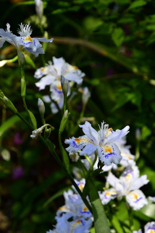 4678_シャガの花