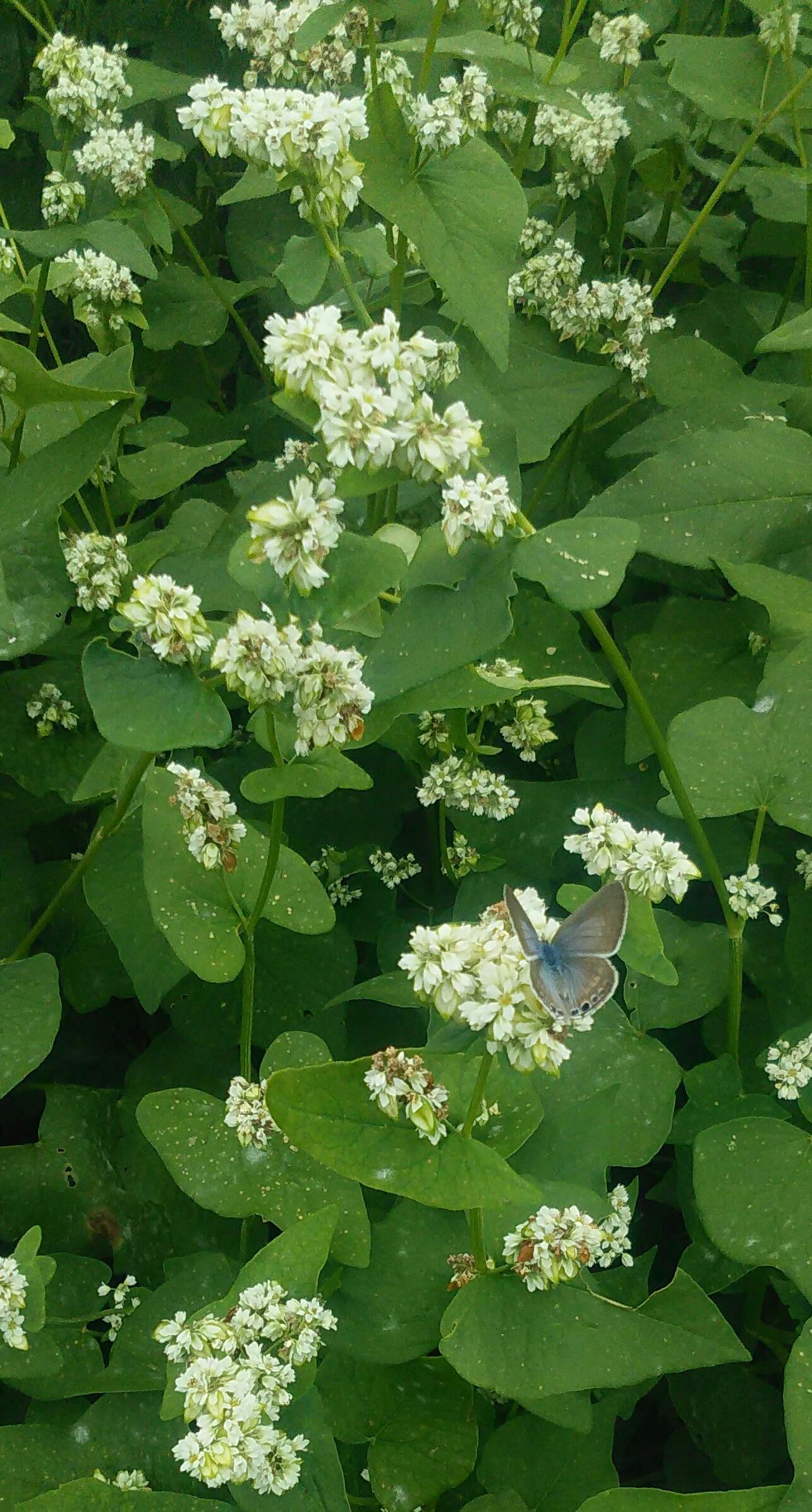 ソバの花と蝶
